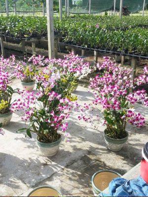 hoa lan dendro mau hong