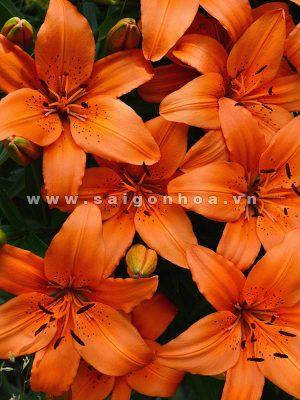 hoa lily mau cam 1