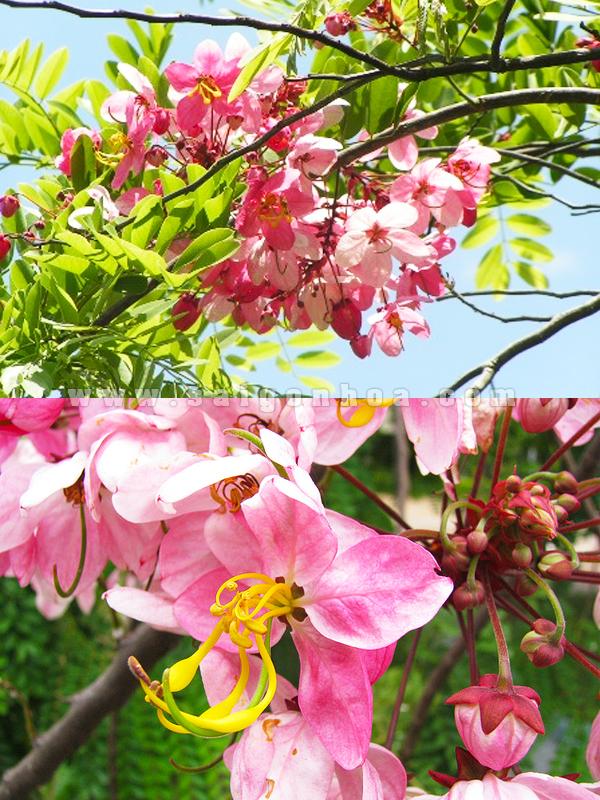 hoa muong hoa dao