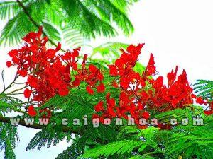 hoa phuong vi