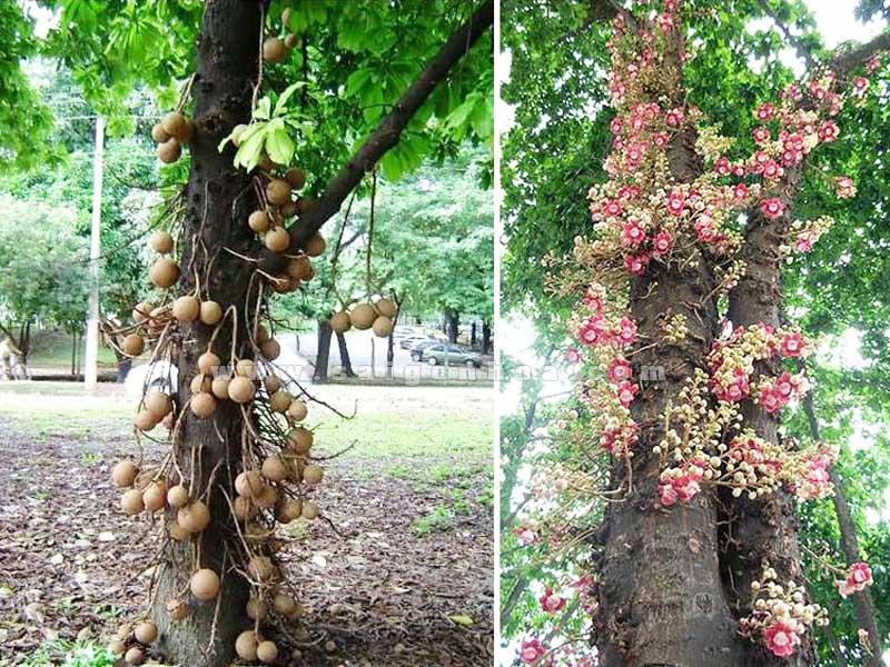 hoa trai cay dau lan