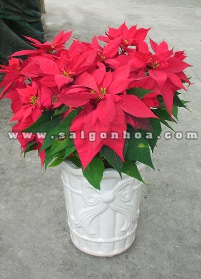 hoa trang nguyen chau dung