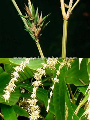 hoa tre vang soc xanh