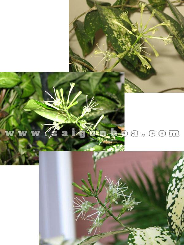 hoa cây trúc nhật đốm