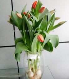 Hoa Tulip Chau 1