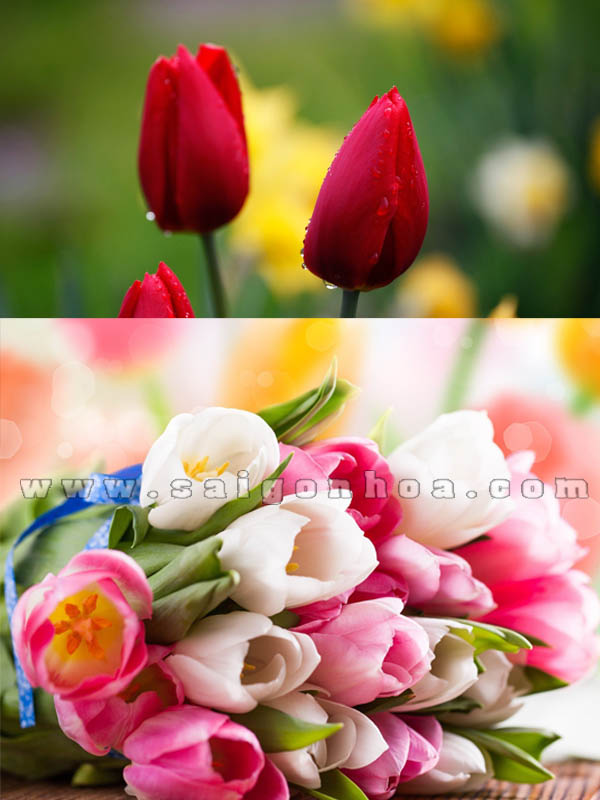 hoa tulip du mau