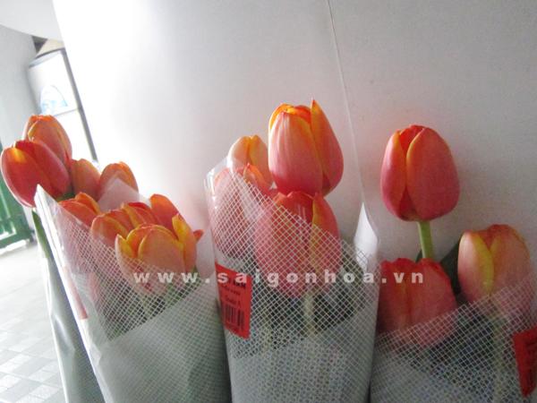 hoa tulip mau cam