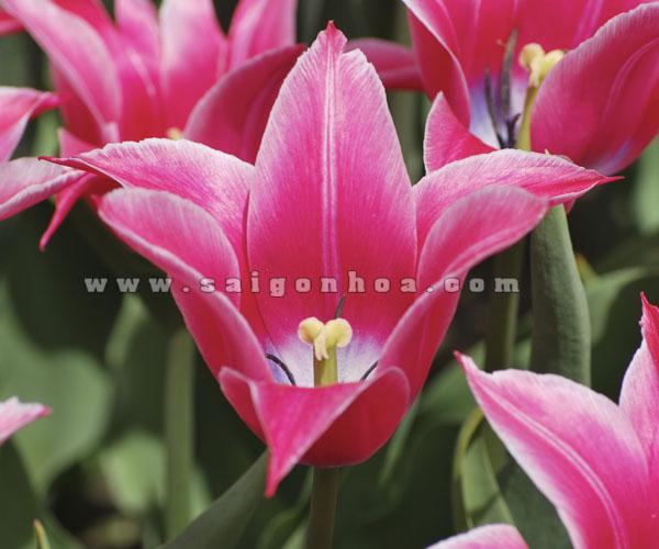 Hoa Tulip Mau Hong 2