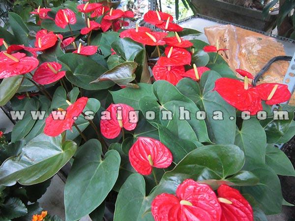 Hoa hồng môn - Sài Gòn Hoa