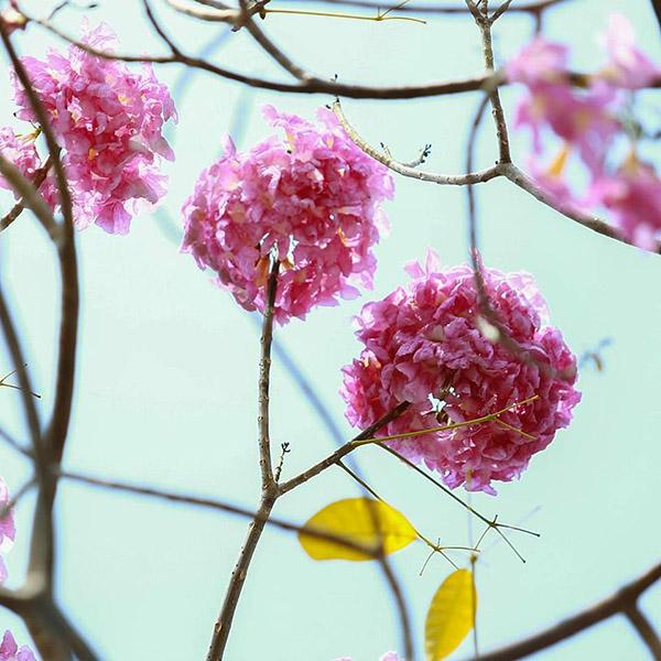 Ken Hong Nhung Mua Hoa