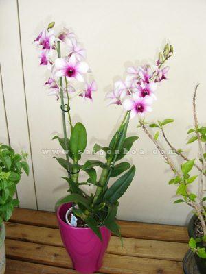 lan dendro hoa mau hong