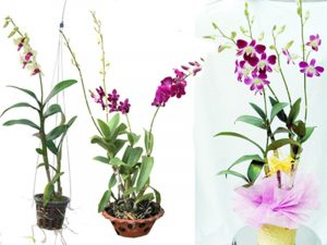 lan dendro hoa treo