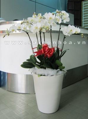 Lan Ho Diep 7 Canh Trang
