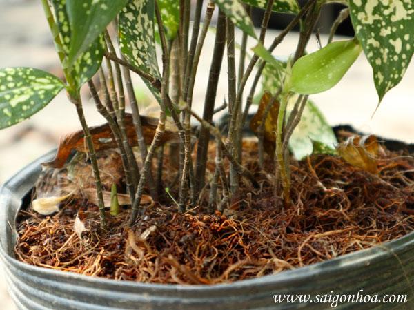 thân cây trúc đốm
