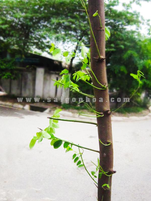 Than Muong Hoa Dao