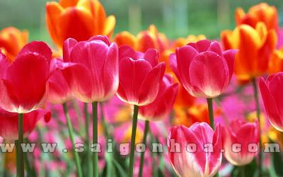 Tulip No Hoa