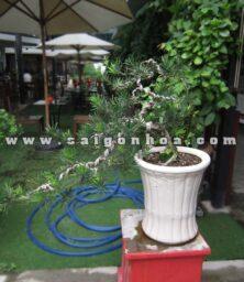 Van Nien Tung Bonsai The Thac Do