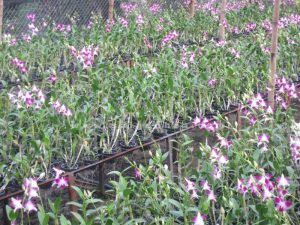 vuon hoa lan dendrobium