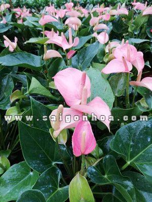 Vuon Uom Cay Hong Mon Hoa Hong