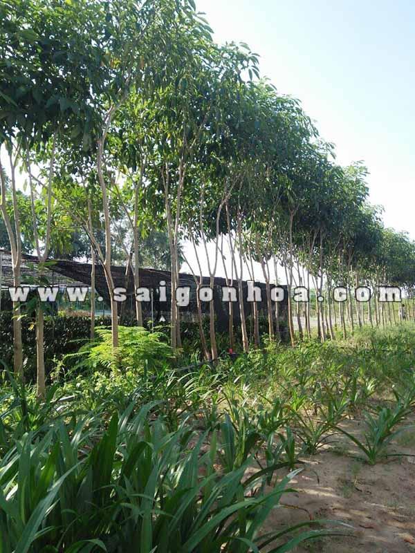 Vuon Uom Cay Ken Hong