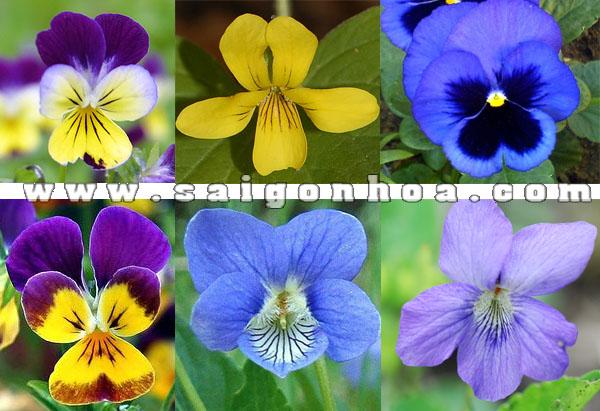 cac kieu va mau hoa viola flower 1