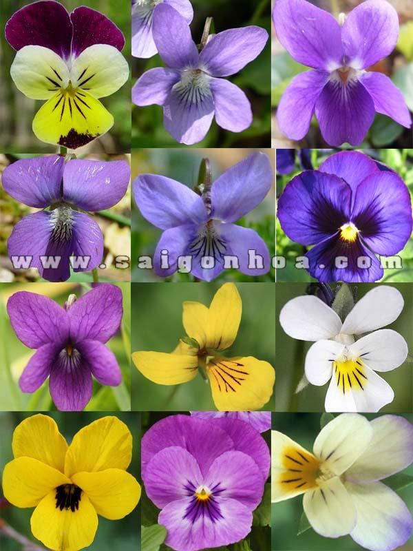 cac kieu va mau hoa viola flower