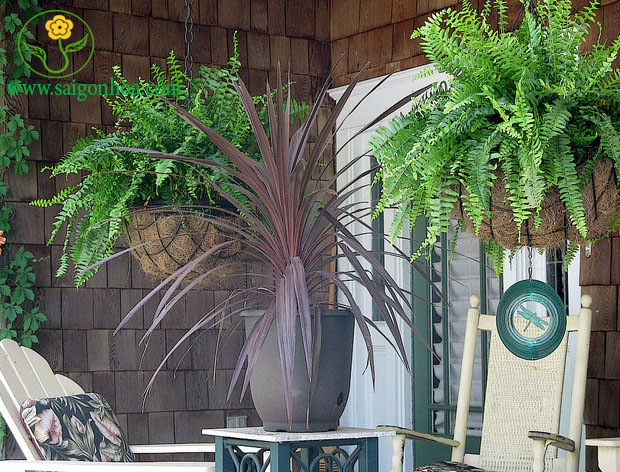 Hanging Boston Ferns