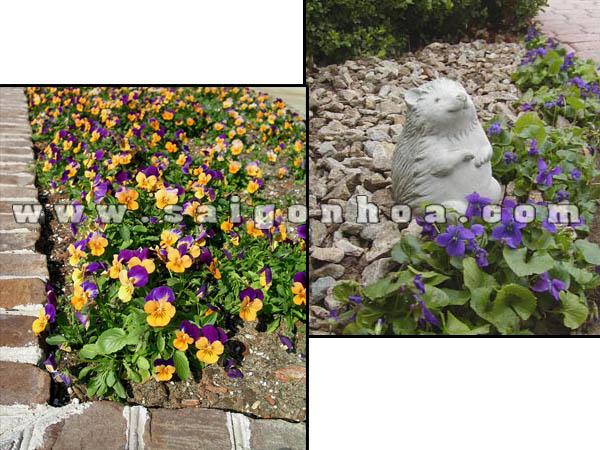 tham cay viola flower trong san vuon