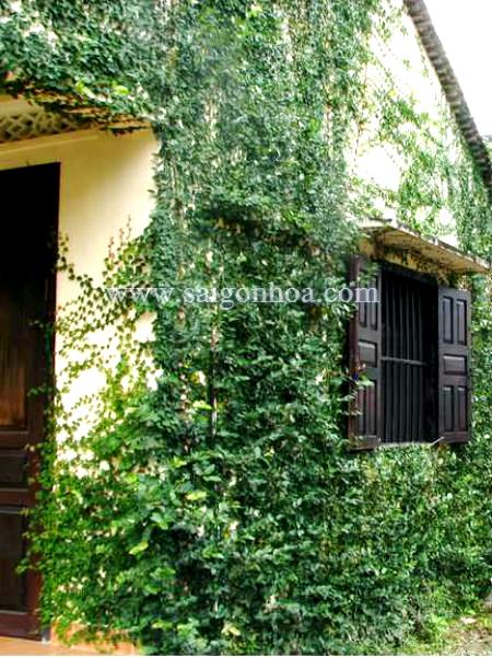 Thằn lằn bám tường với nhà theo phong cách cổ kín