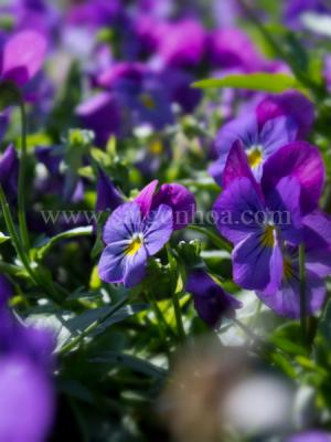 viola flower (1)