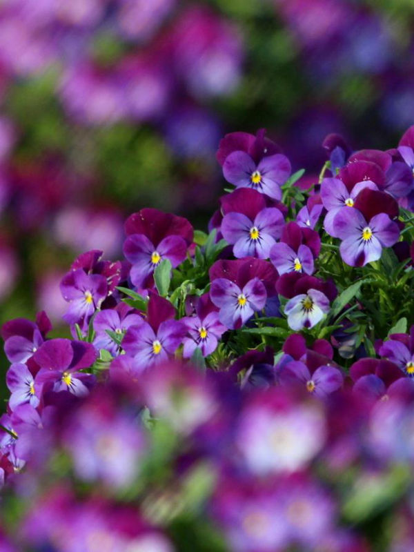 viola flower (12)