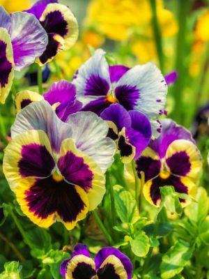 viola flower (9)
