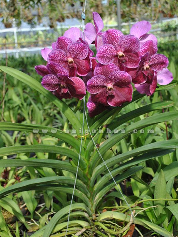 hoa lan vanda
