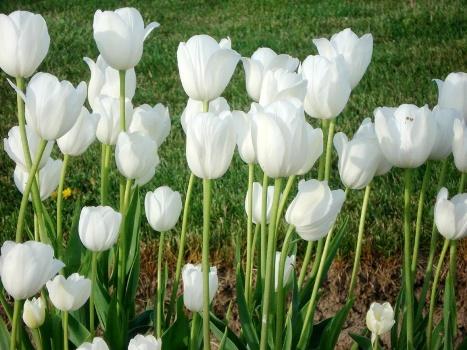 Vẻ đẹp loài hoa tulip - Hình ảnh hoa tulip