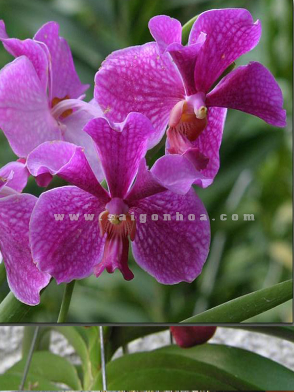 lan vanda hoa hong