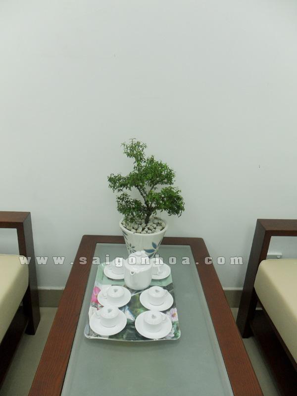 cay mai chieu thuy bonsai