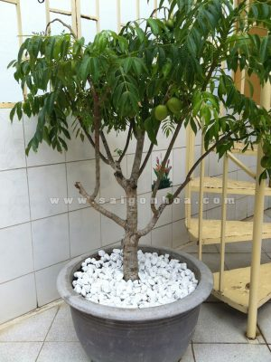 Chau Coc Thai