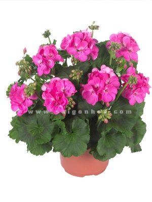 chau hoa phong lu hong
