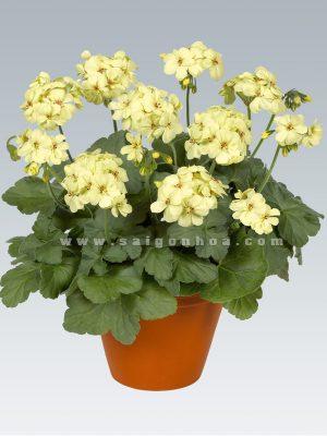 chau hoa phong lu vang chanh