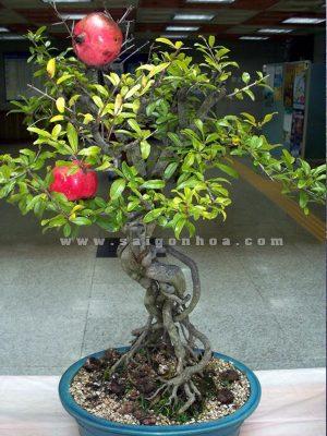 chau luu bonsai