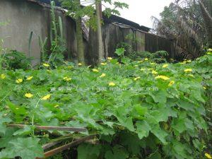 gian hoa muop