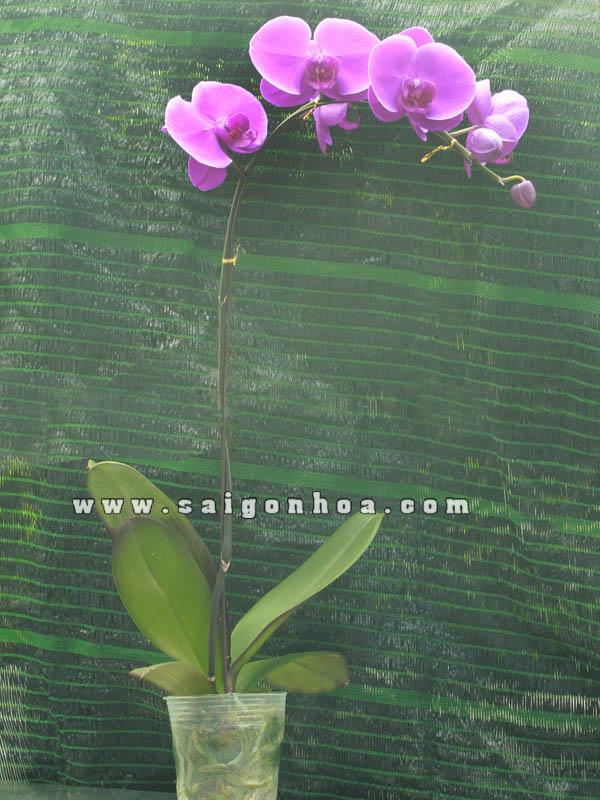 Hoa Lan Ho Diep Tet