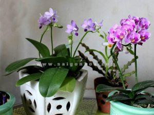 Chau Lan Ho Diep Mini