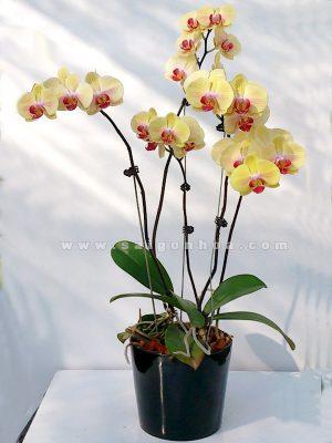 Chau Lan Ho Diep Vang 5 Canh