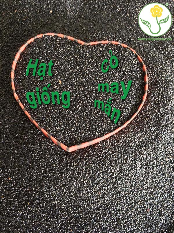 Chuyen Ban Hat Giong Co May Man 7