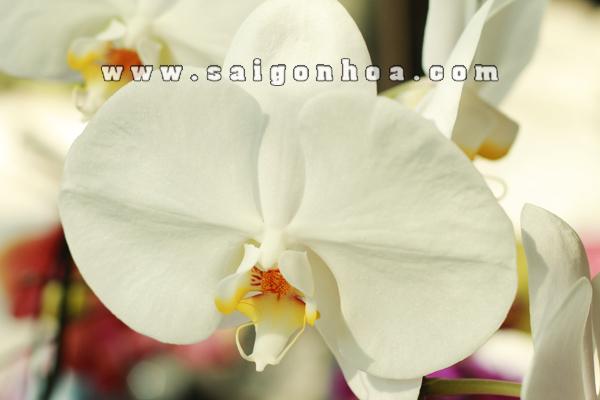 Hoa Lan Ho Diep Trang 1
