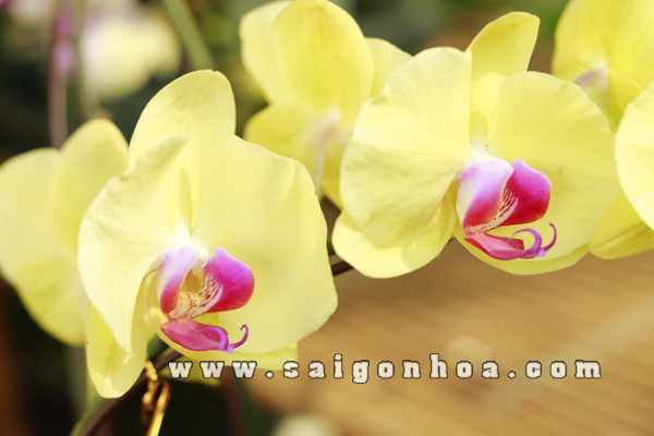 Hoa Lan Ho Diep Vang 1