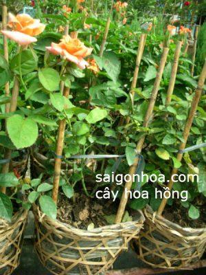 cay hoa hong