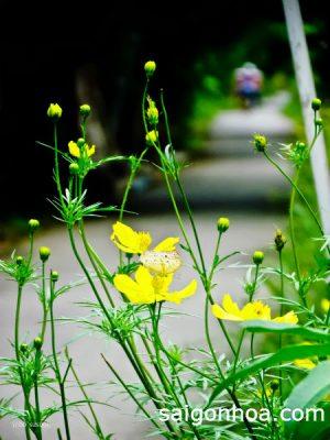 cay hoa sao nhai vang