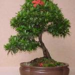 cây trang thái bonsai